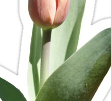 Tulip Coming Out Sticker