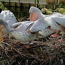 Pelicans' communal nest by Gili Orr