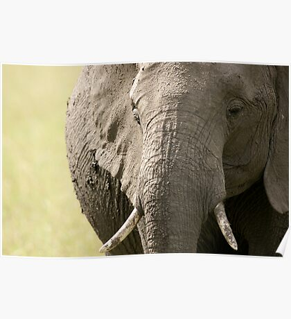 Portrait of an elephant - 1 Poster
