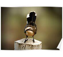 Grey-Crowned Babbler, Pomatostomus temporalis Poster