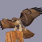 Red-Tailed Hawk Calendar by Marvin Collins