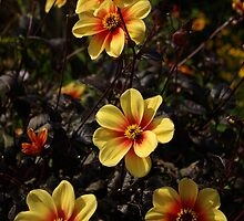 "Dahlia ""Sunshine"" by M G  Pettett"