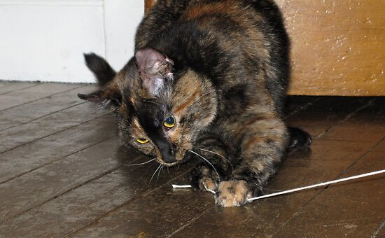 Tortoiseshell cat playing with string by ljm000