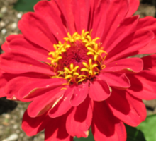 Sunlit Scarlet Dahlia - Heligan Sticker