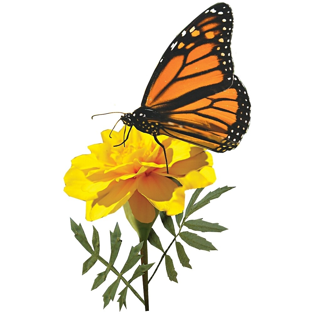 Monarch Butterfly on Marigold by Susan Savad