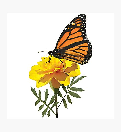 Monarch Butterfly on Marigold Photographic Print