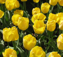 Golden Dreams - Tulips in the Keukenhof Gardens Sticker
