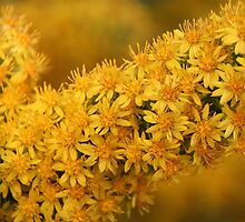Thousands of tiny yellow flowers by Kasey Cline