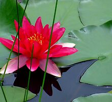"""""""Lone Lily"""" by debsphotos"""