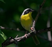Male Common Yellow Throat Warbler 3 by John Absher