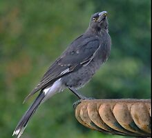 The Majesty of a Currawong  (1) by Larry Lingard-Davis