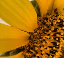 Sunflower- Extreme Close Up by KittenFlower