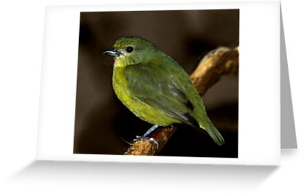 Violaceous Euphonia II by Lisa G. Putman