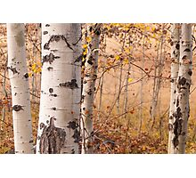 Aspen Grove in Autumn Photographic Print
