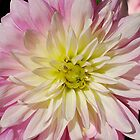 Delicate Dahlia by Penny Smith