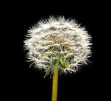 Dandelion by KeepsakesPhotography Michael Rowley