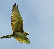 Brown Falcon from the Silver Falcon 3 by Biggzie