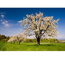 Blossoming trees in spring in rural scenery  Photographic Print