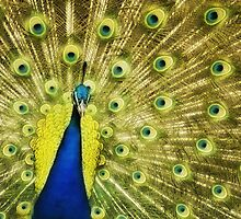 Peacock  by Garth  Helms