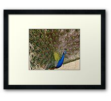 Show off - Peacock Framed Print