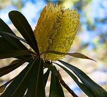 Australian Bottle Brush by UrbanPictures