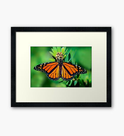 Monarch... Framed Print