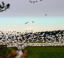 TRUMPET OF SWANS by MsLiz