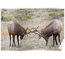 Sparring Elk Poster