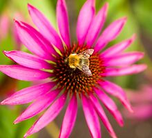 Bee on Pink Flower by TomGreenPhotos