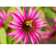 Bee on Pink Flower Photographic Print