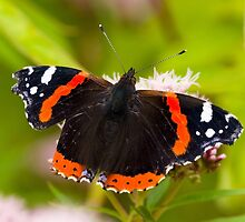 Red Admiral by TomGreenPhotos