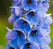 Blue Flower by TomGreenPhotos