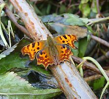 Comma Butterfly by GardeningArcher