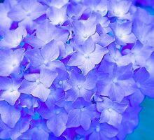 Hydrangea Flower - Ultra Violet by Felix Aitken