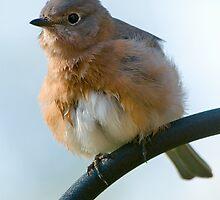Bluebird Fluff Ball by Bonnie T.  Barry