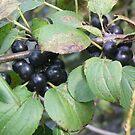 Wonderful Wild Berries by Diane Trummer Sullivan