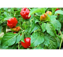 My Favorite Fruit - Hot Peppers Photographic Print