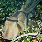 Port Jackson Shark by Matt Gibbs