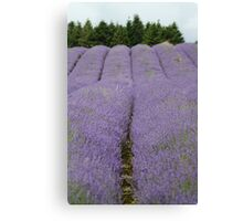 Rows of Lavender Canvas Print