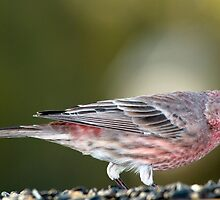 Common House Finch at Feeder by Bonnie T.  Barry
