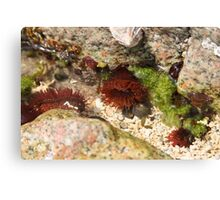 Sea anenomes Canvas Print