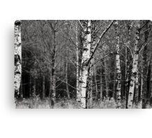 Silver Birch Canvas Print