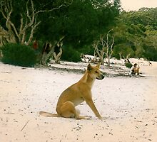 Dingo at the Beach by Cheryl  Lunde