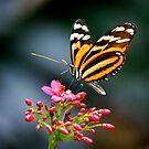 Ithomiidae by Pamela Hubbard