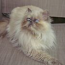 Lola, my Himalayan rescue by Gloria Abbey