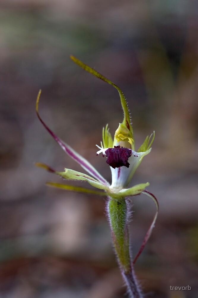 Spider Orchid.  by trevorb