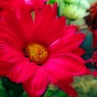 Red Daisies by kkphoto1