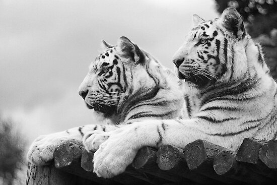 White Tigers by Leanne Jones
