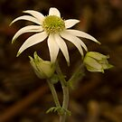 Flannel Flower by Rosalie Dale