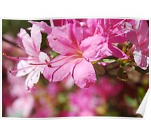Rhododendrum Poster